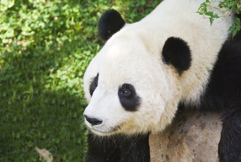 Panda Cub fotografie stock