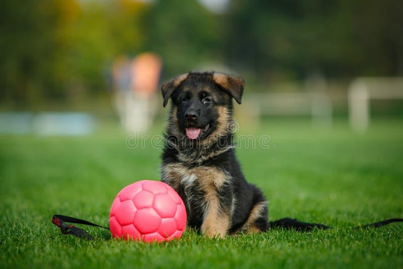 Cucciolo del pastore tedesco che si siede sull'erba nel parco fotografie stock