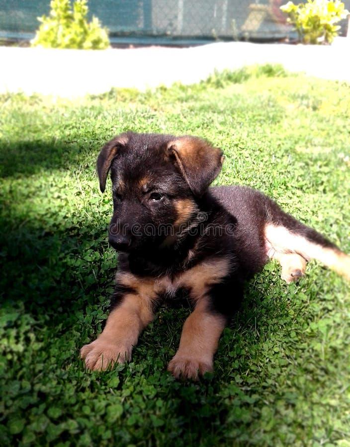 Cucciolo del pastore tedesco 2 mesi che aspettano sull'erba fotografia stock libera da diritti