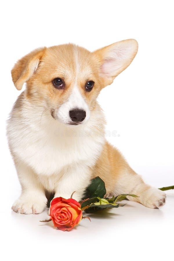 Cucciolo del pembroke del corgi di lingua gallese della testarossa e fiore divertenti della rosa fotografia stock libera da diritti