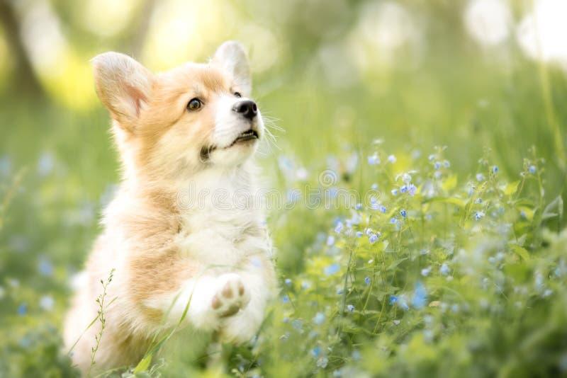Cucciolo del pembroke del corgi di Lingua gallese in fiori di estate o di autunno fotografia stock libera da diritti