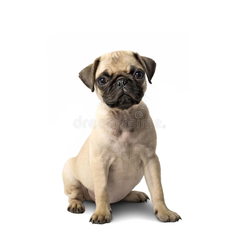 Cucciolo del Pug fotografie stock libere da diritti