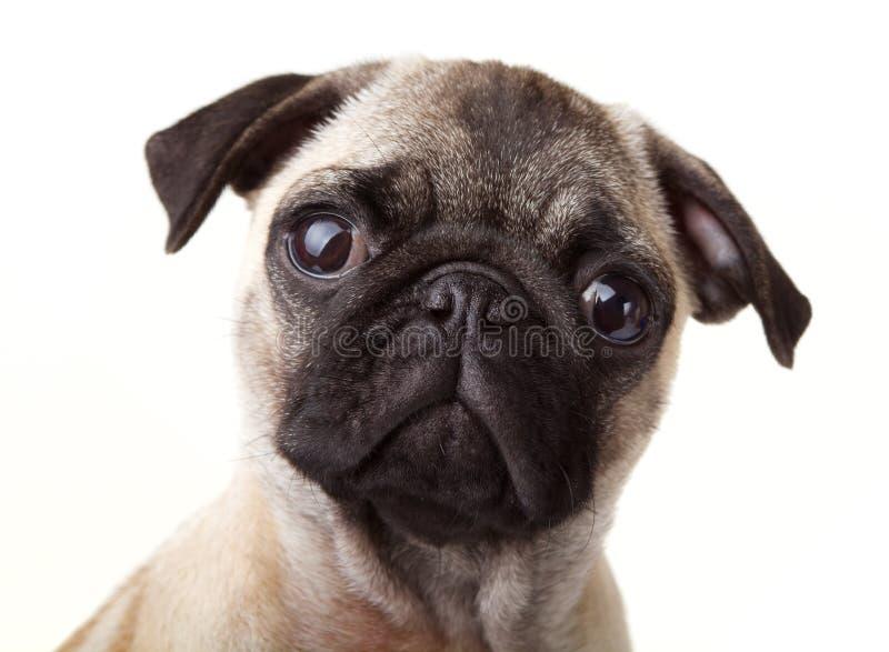 Cucciolo del Pug immagini stock