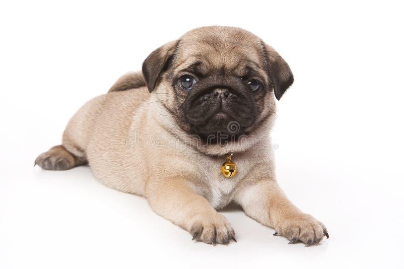 Cucciolo del Pug immagine stock libera da diritti