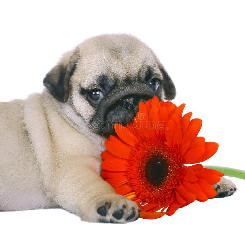 Cucciolo del Pug con i gerbers rossi. fotografia stock