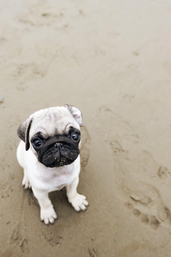 Cucciolo del Pug sulla sabbia bagnata della spiaggia fotografie stock