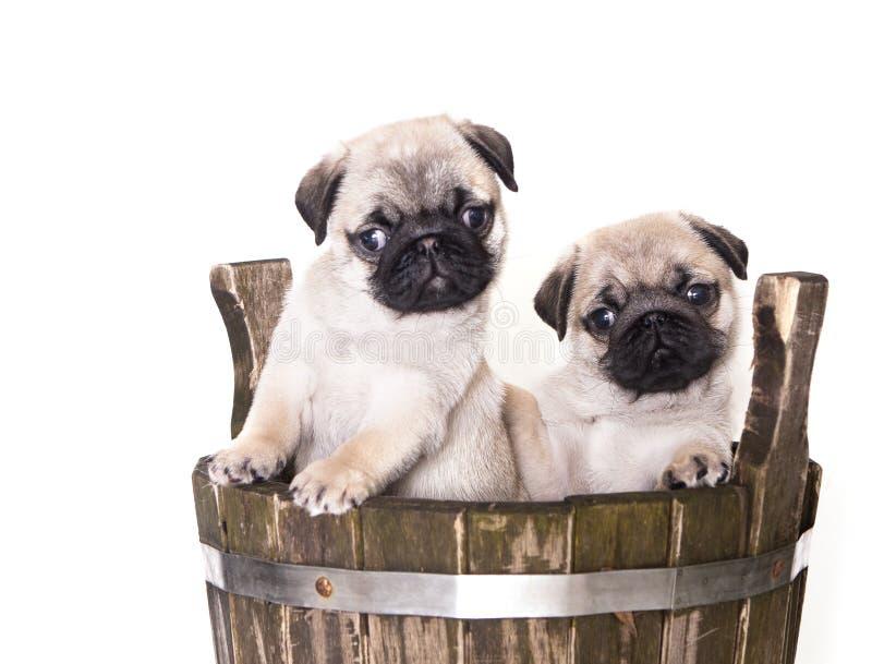 Cucciolo del purosangue del Pug fotografia stock libera da diritti