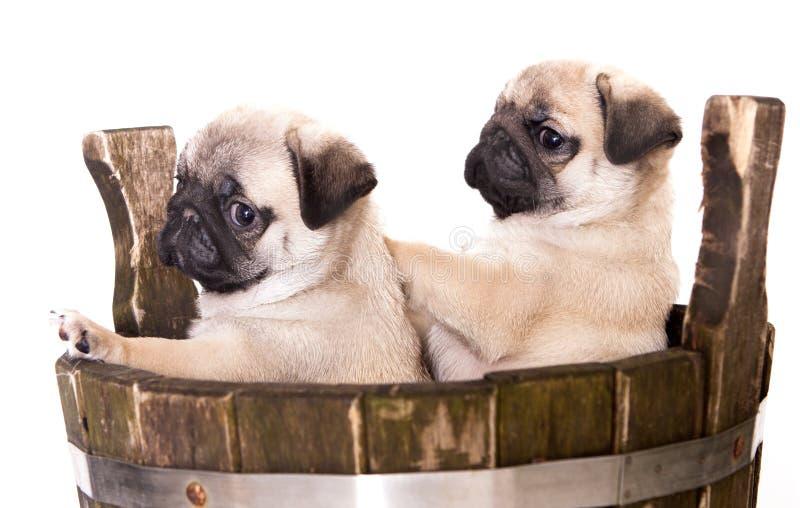 Cucciolo del purosangue del Pug fotografie stock