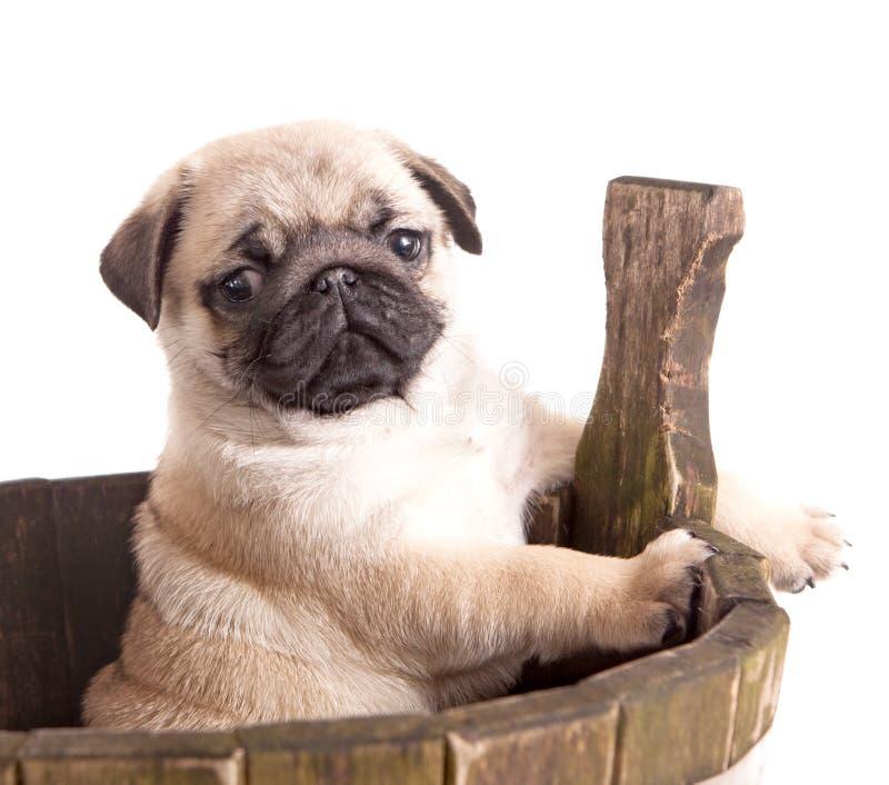 Cucciolo del purosangue del Pug immagini stock