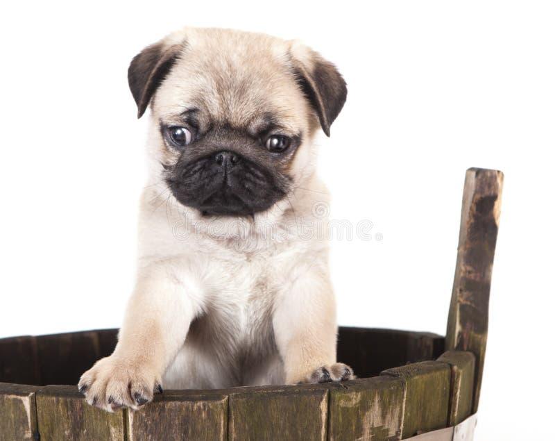 Cucciolo del purosangue del Pug immagine stock libera da diritti