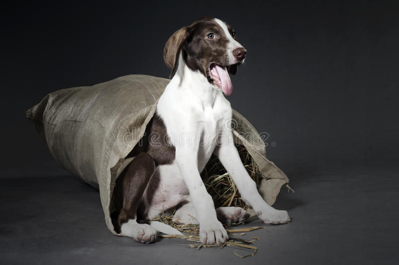 Cucciolo del segugio fotografia stock