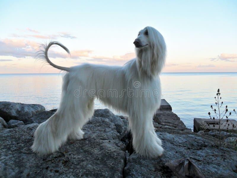 Cucciolo del Sguardo-segugio nel profilo sui massi Lakeside fotografie stock libere da diritti