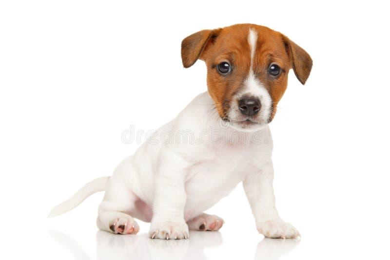 Cucciolo del terrier di Jack Russell su fondo bianco immagine stock libera da diritti