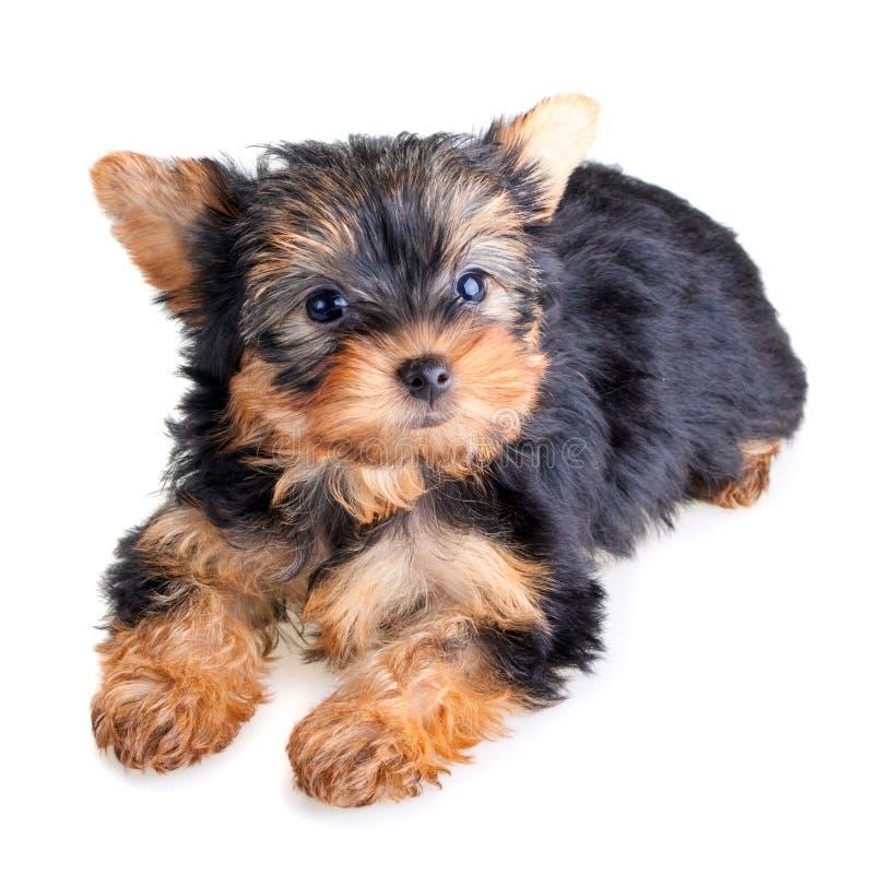 Cucciolo del Terrier di Yorkshire fotografia stock libera da diritti