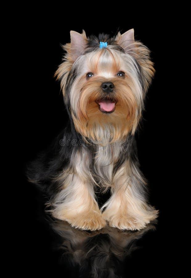 Cucciolo del Terrier di Yorkshire sul nero fotografia stock