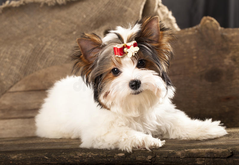 cucciolo del terrier diBiewer-York fotografia stock