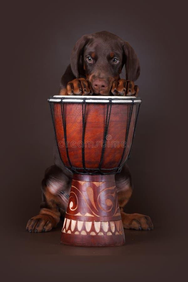 Cucciolo del terrier e del tamburo di Dobermann immagini stock