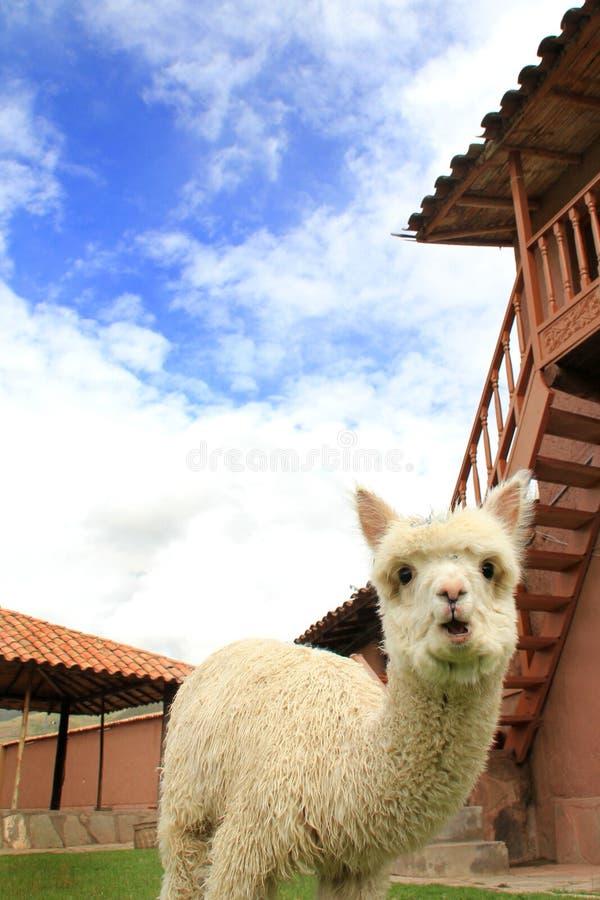 Cucciolo dell'alpaga fotografie stock libere da diritti