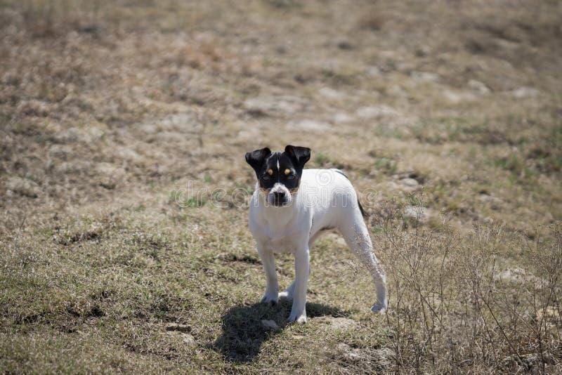 Cucciolo dell'azienda agricola di Terrier di ratto immagine stock libera da diritti