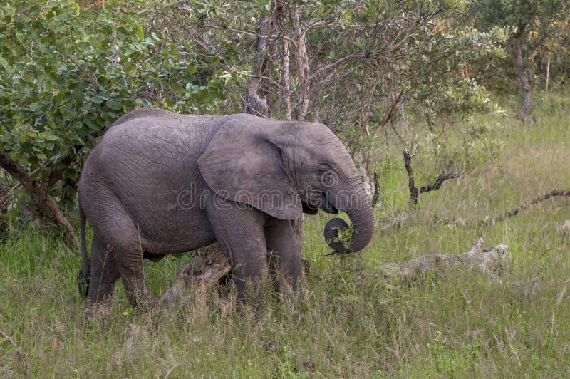 Cucciolo dell 39 elefante africano in sudafrica fotografia - Elefante foglio di colore dell elefante ...