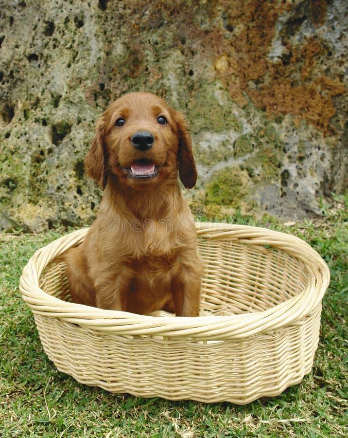 Cucciolo dell'incastonatore irlandese in un cestino immagini stock