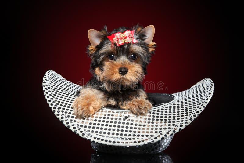 Cucciolo dell'Yorkshire terrier in cappello immagini stock libere da diritti