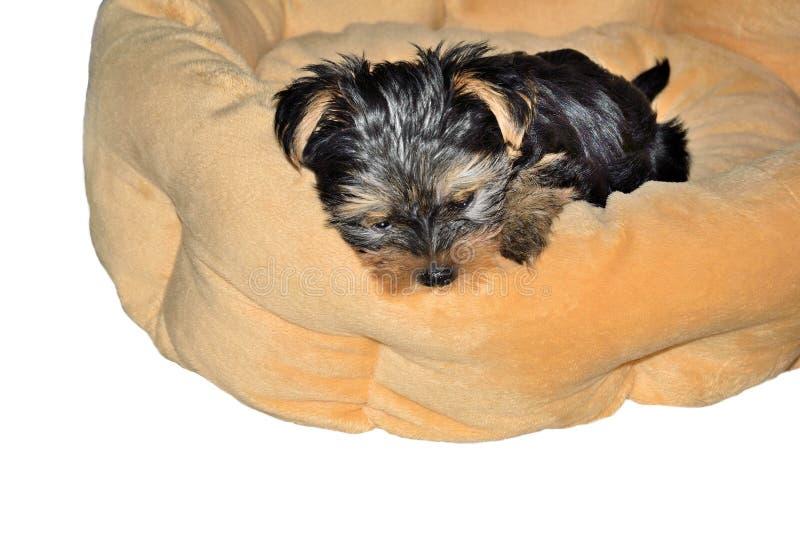 Cucciolo dell'Yorkshire terrier che si trova sul letto del cane immagine stock