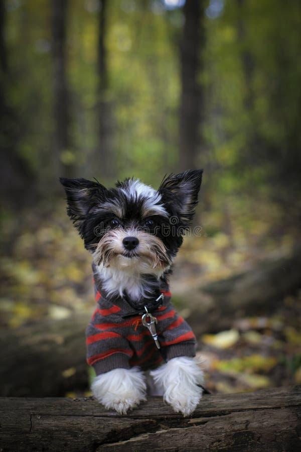 Cucciolo dell'Yorkshire terrier di Biewer del ritratto sul tronco nel parco di autunno immagini stock