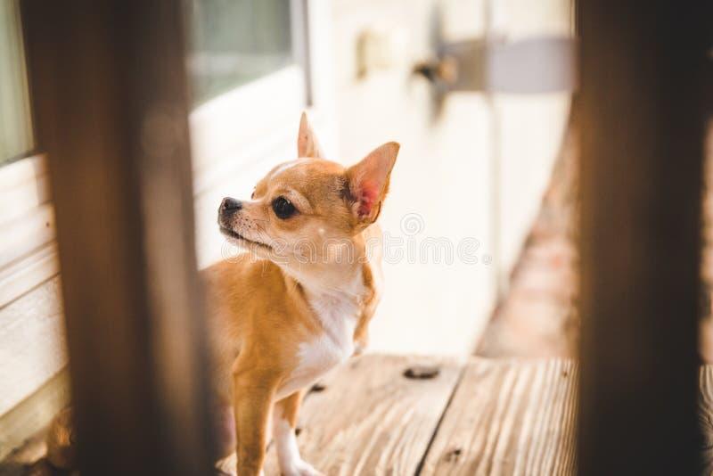 Cucciolo della chihuahua che aspetta fuori di una porta su una piattaforma di legno immagini stock libere da diritti