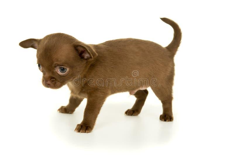 Cucciolo della chihuahua di colore di Brown fotografia stock libera da diritti