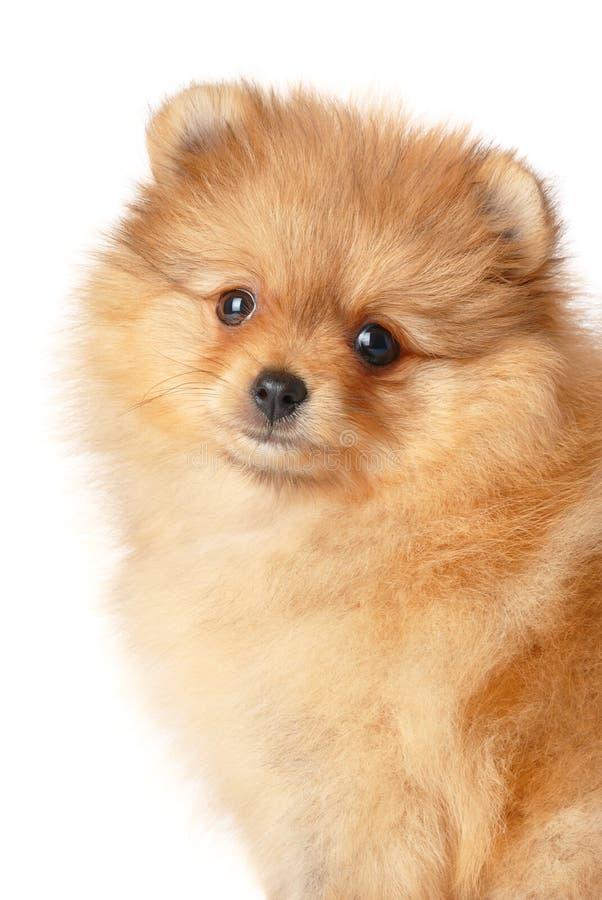 Cucciolo dello Spitz fotografie stock libere da diritti