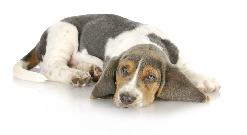 Cucciolo di basset hound fotografie stock libere da diritti