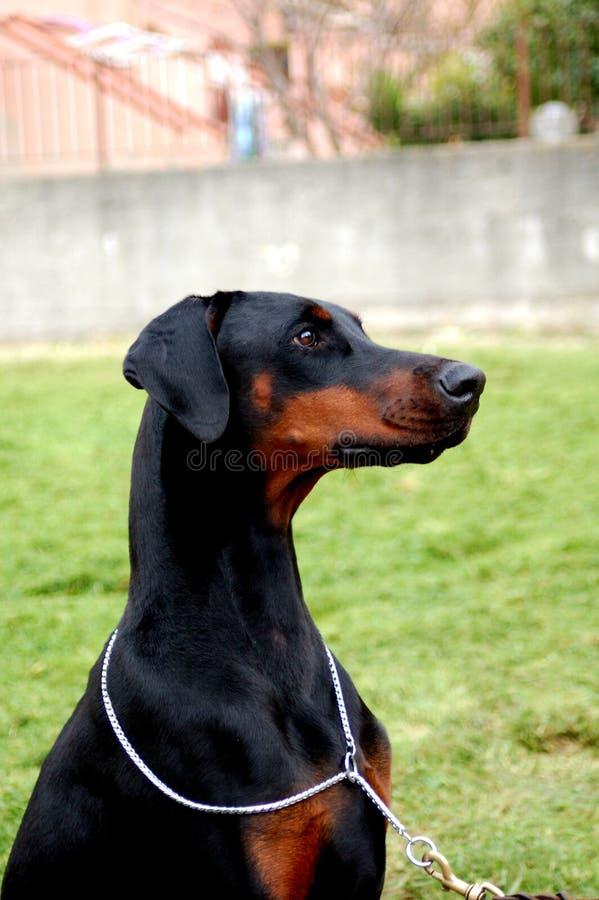 Cucciolo di cagna del nero di Dobermann fotografia stock