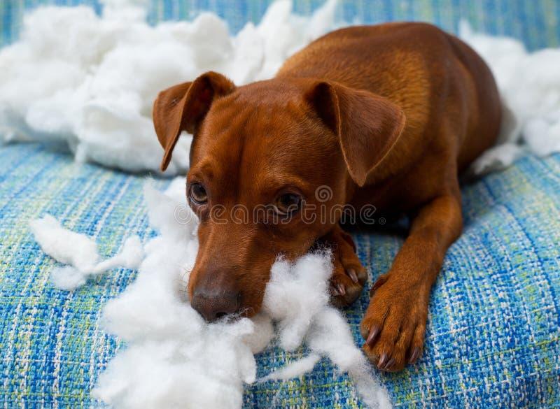 Cucciolo di cane allegro impertinente dopo il morso del cuscino immagine stock libera da diritti