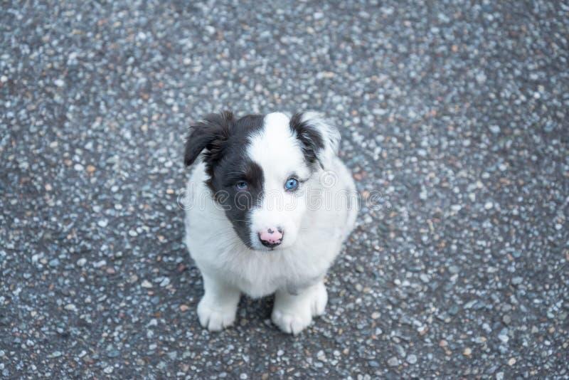 Cucciolo di cane australiano dolce e piccolo del pastore fotografia stock libera da diritti