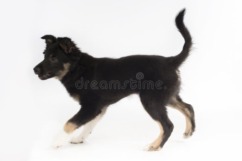Cucciolo di cane, border collie, fondo bianco dello studio fotografie stock libere da diritti