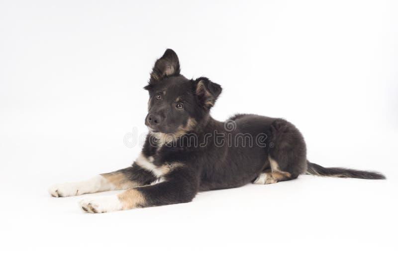 Cucciolo di cane, border collie, trovantesi sul fondo bianco immagini stock