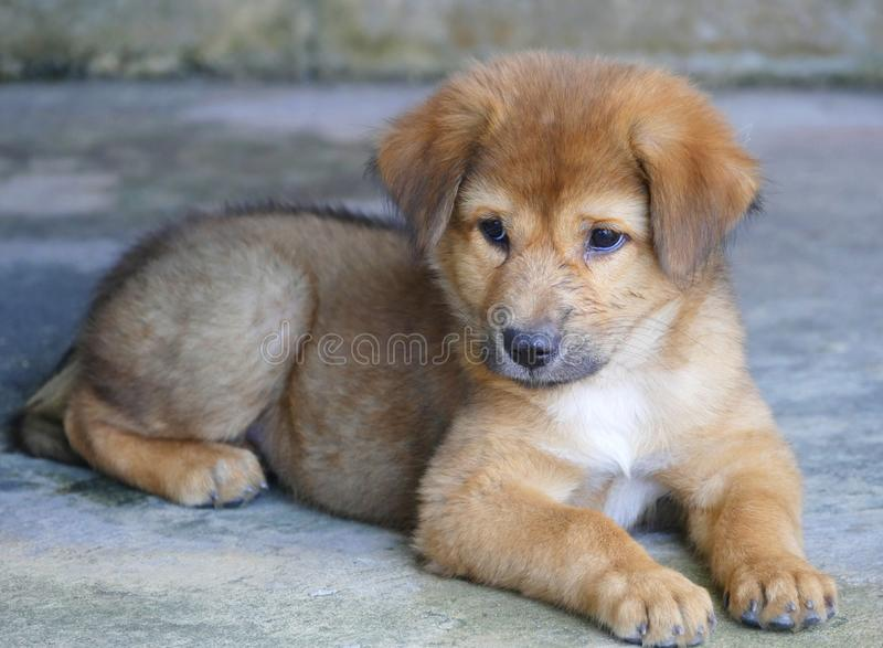 Cucciolo di cane di Brown che si trova sulla terra immagine stock libera da diritti