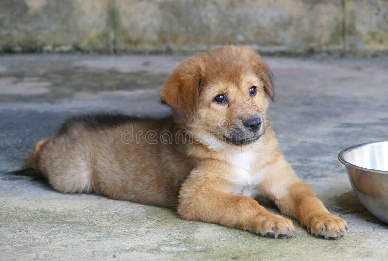 Cucciolo di cane di Brown che si trova sulla terra immagine stock
