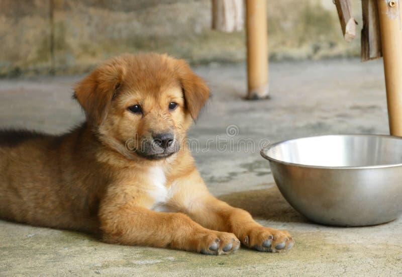 Cucciolo di cane di Brown che si trova sulla terra accanto alla ciotola dell'acqua immagine stock