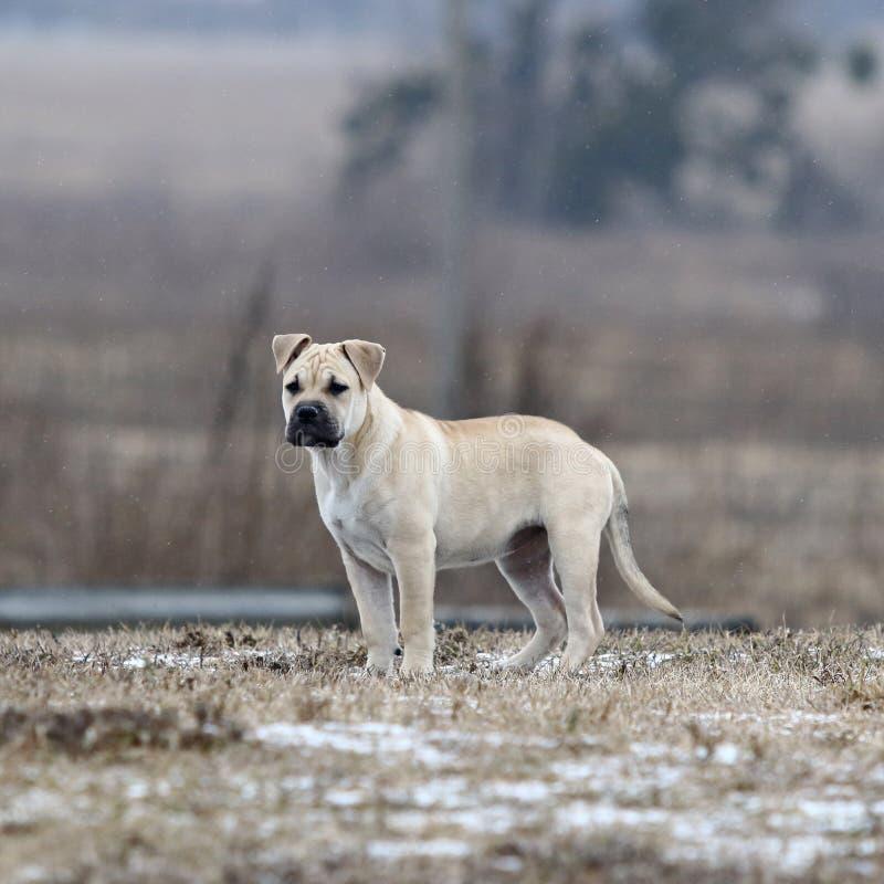 Cucciolo di cane di Ca de Bou Mallorquin Mastiff fotografia stock