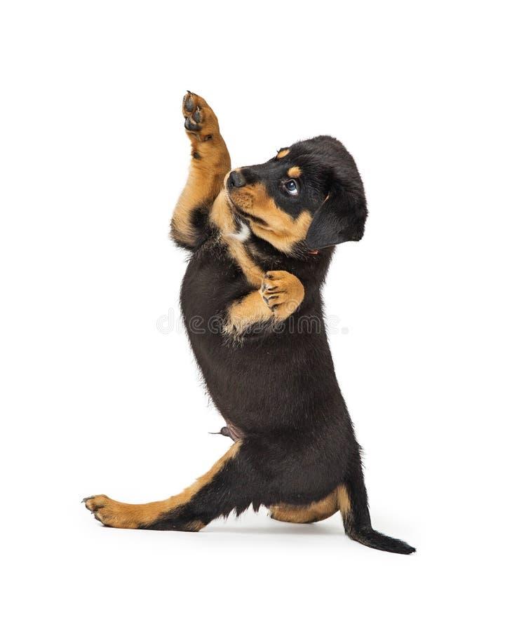 Cucciolo di cane che si siede le zampe laterali su fotografia stock libera da diritti