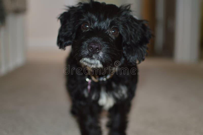 Cucciolo di cane di Cockapoo immagine stock libera da diritti