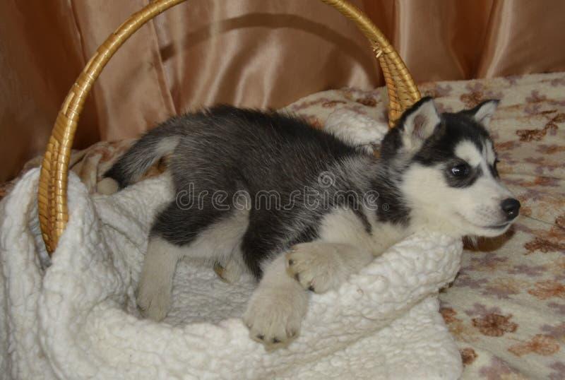 Cucciolo di cane del husky della razza immagine stock libera da diritti