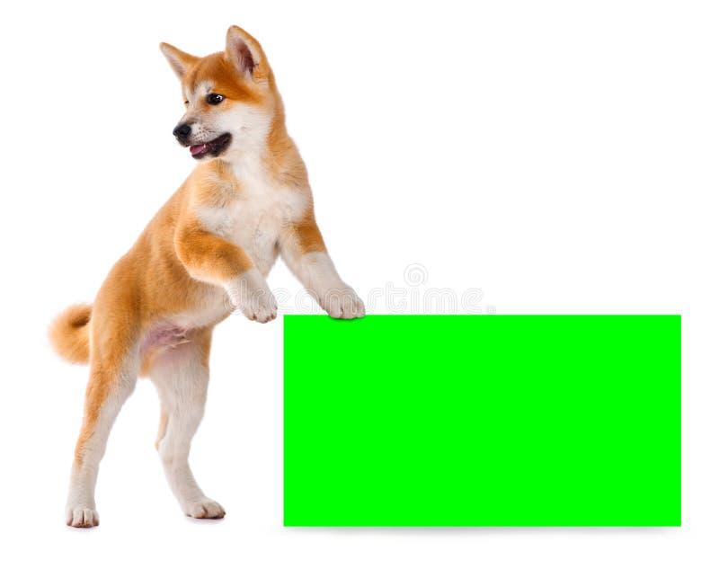 Cucciolo di cane del purosangue di Akita Inu Inu di Shiba immagini stock