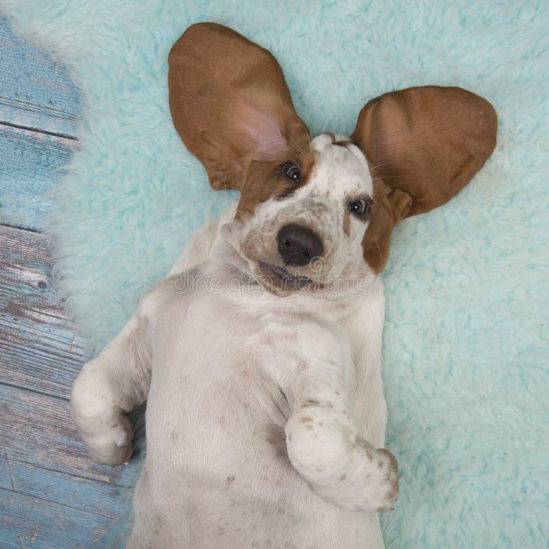 Cucciolo di cane di basset hound che si trova sulla sua parte posteriore veduta da una vista dell'angolo alto immagine stock