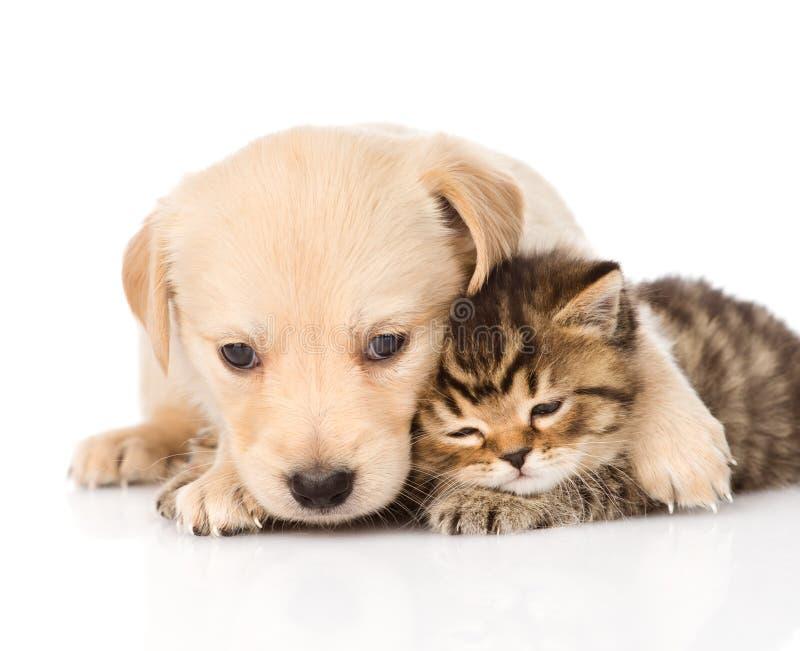 Cucciolo di cane di golden retriever che abbraccia gatto scozzese Isolato sul whi immagini stock libere da diritti