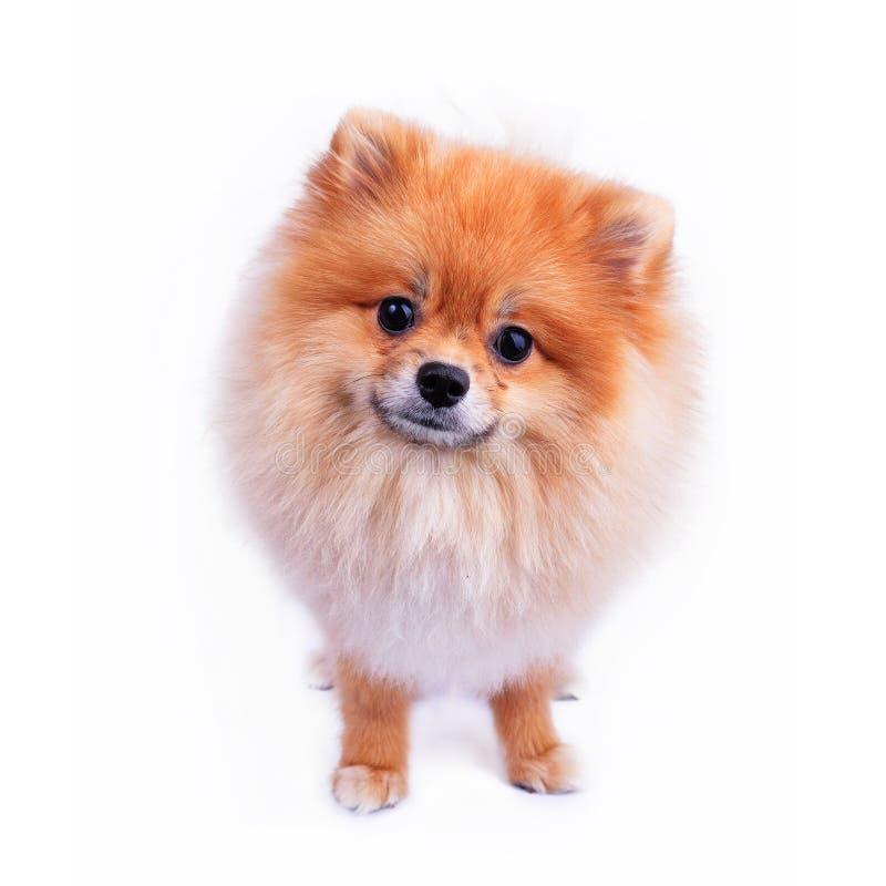 Cucciolo di cane di Pomeranian su fondo bianco fotografia stock