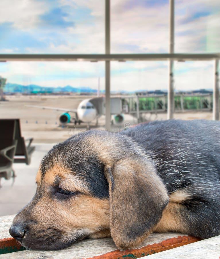 Cucciolo di cane dimenticato all'aeroporto fotografia stock