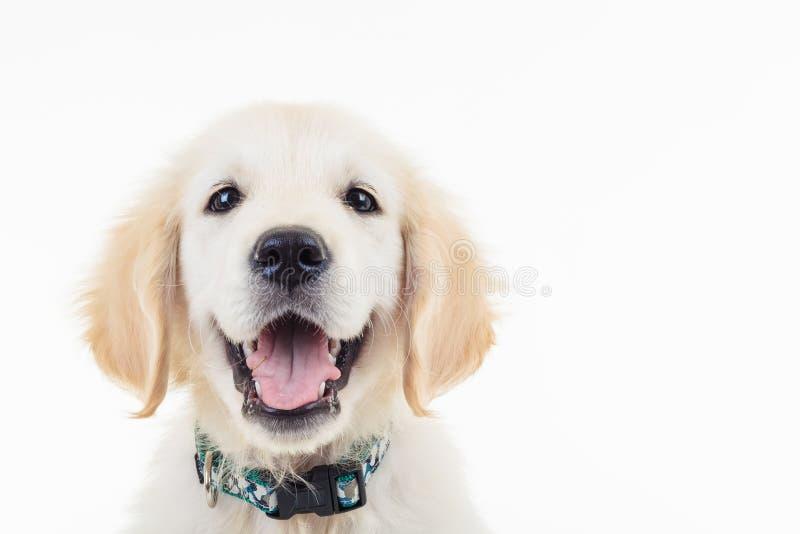 Cucciolo di cane dorato ansimare felice labrador retriever fotografia stock libera da diritti
